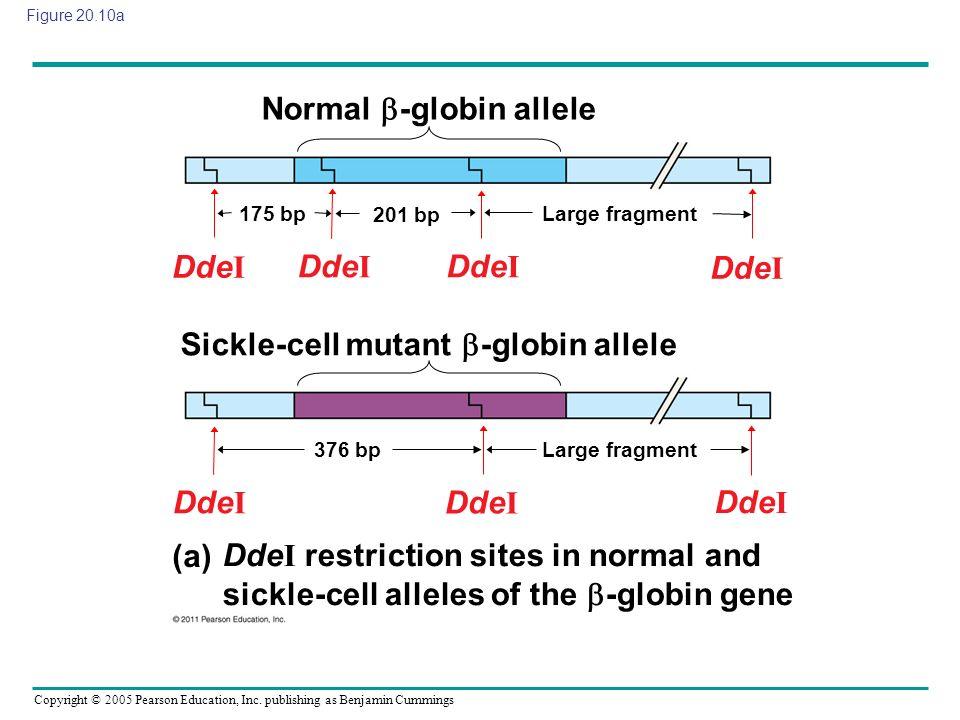 Normal -globin allele
