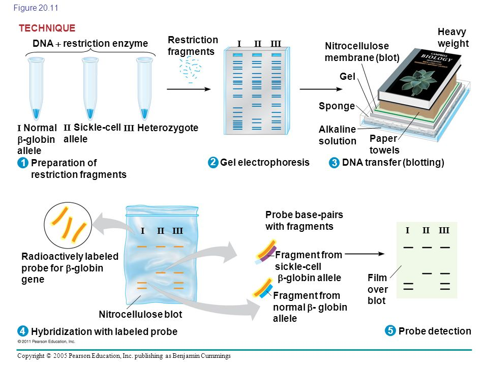 Restriction fragments DNA  restriction enzyme I II III