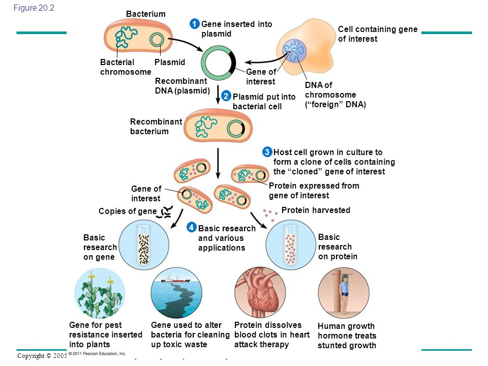 Figure 20.2 Bacterium. 1. Gene inserted into plasmid. Cell containing gene of interest. Bacterial chromosome.