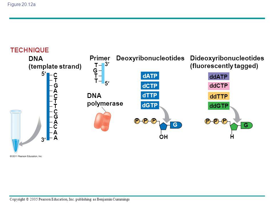 Deoxyribonucleotides Dideoxyribonucleotides (fluorescently tagged)