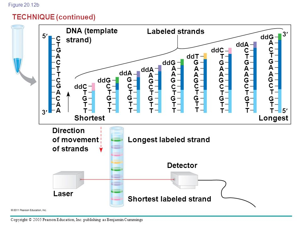 Direction of movement of strands Longest labeled strand