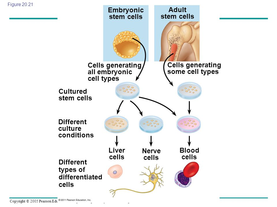 Cells generating all embryonic cell types