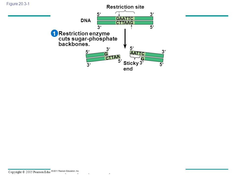 1 Restriction enzyme cuts sugar-phosphate backbones. Restriction site