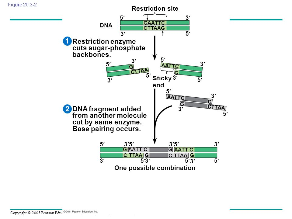1 2 Restriction enzyme cuts sugar-phosphate backbones.