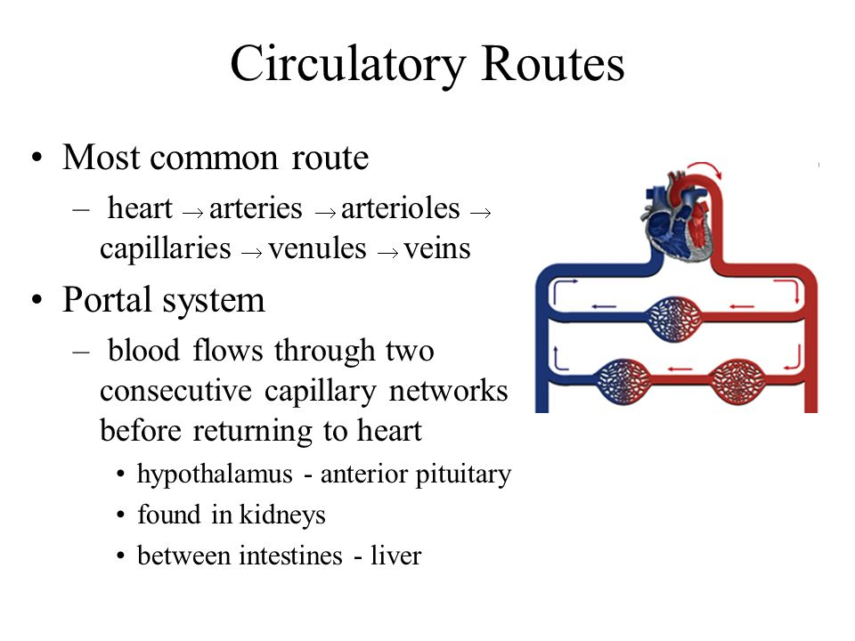Circulatory Routes Most common route Portal system