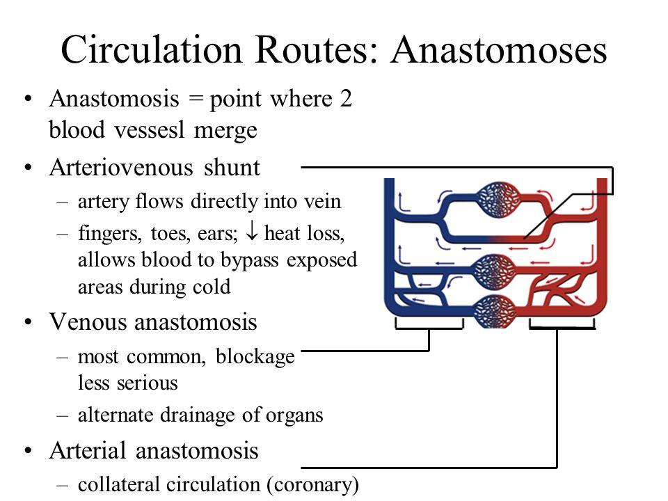 Circulation Routes: Anastomoses