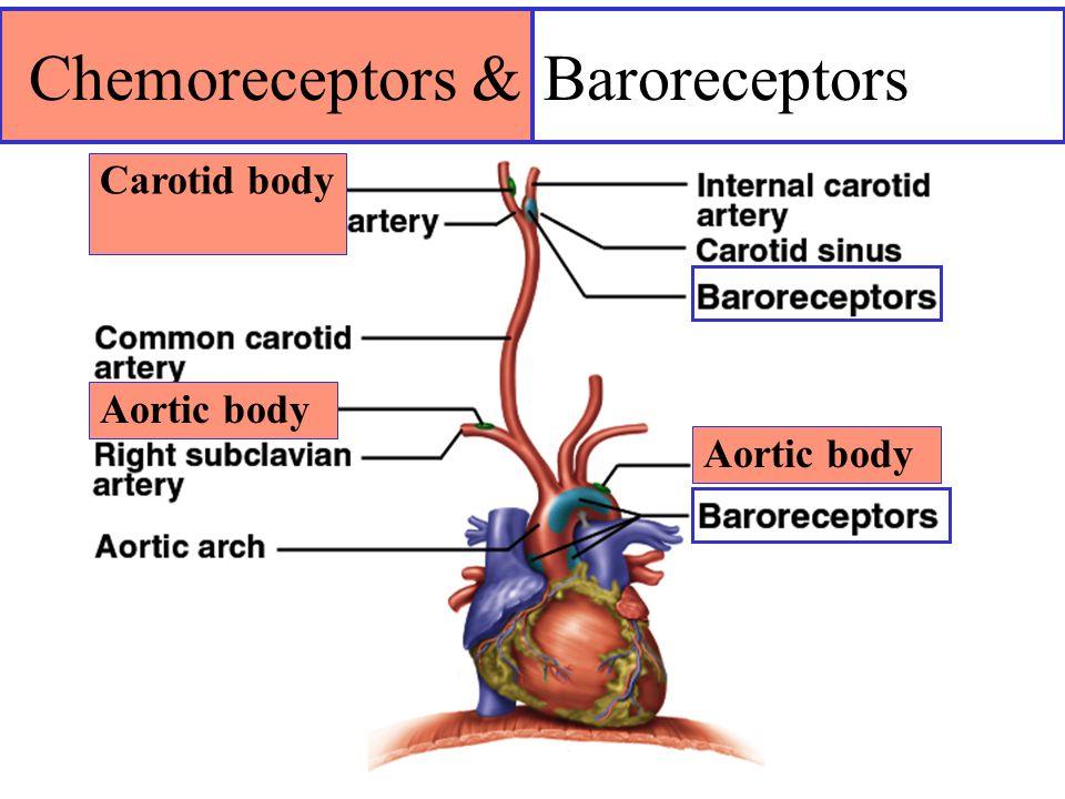 Chemoreceptors & Baroreceptors Carotid body Aortic body