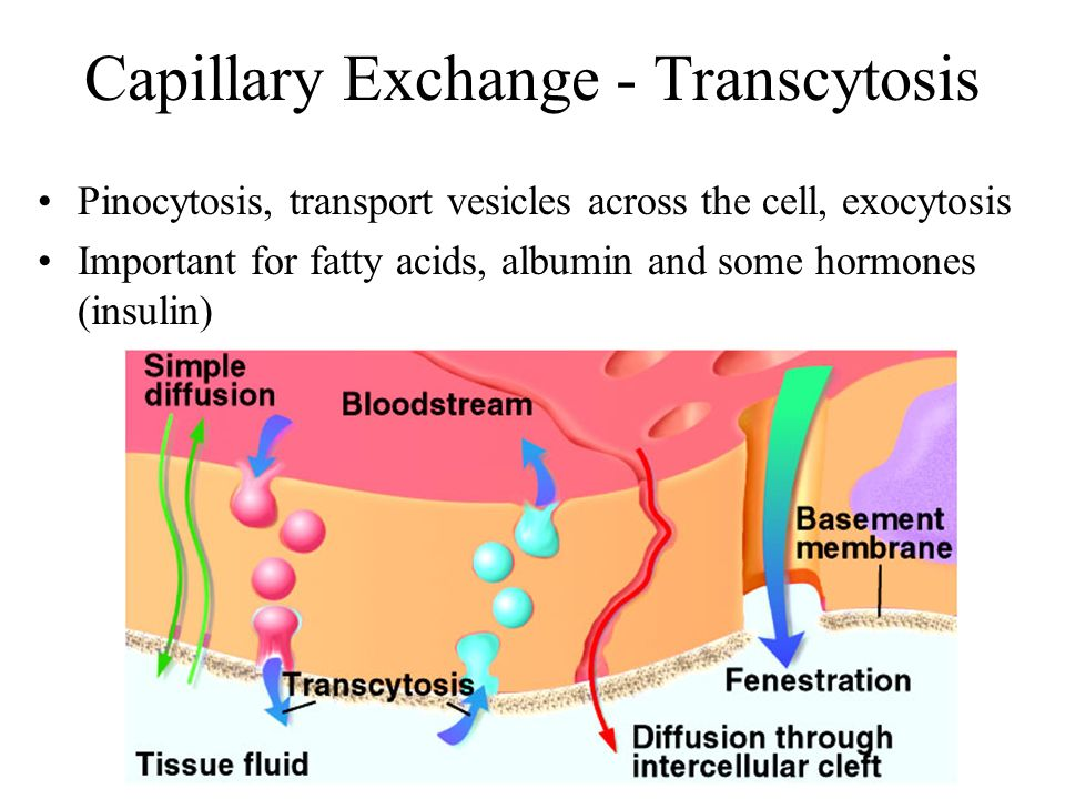 Capillary Exchange - Transcytosis