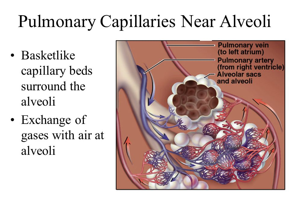Pulmonary Capillaries Near Alveoli