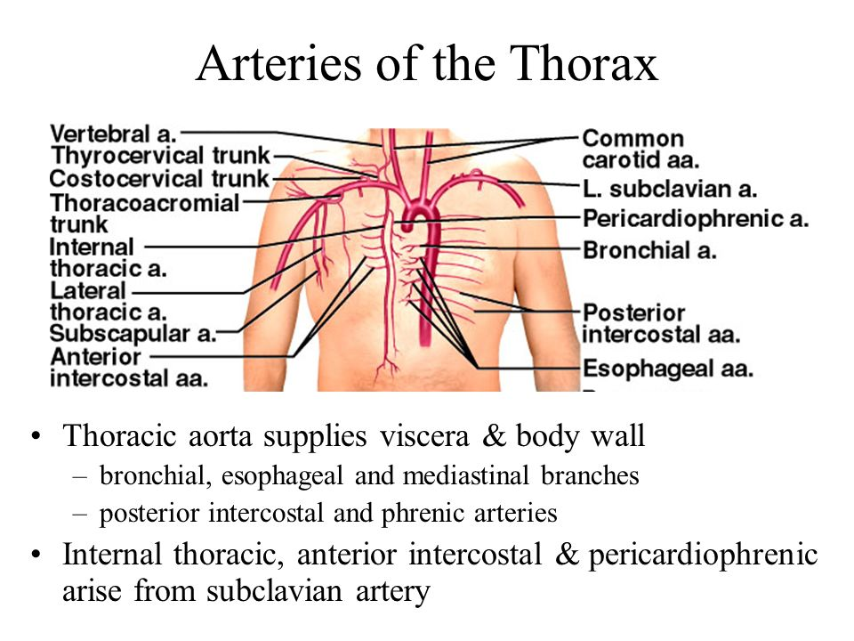 Arteries of the Thorax Thoracic aorta supplies viscera & body wall
