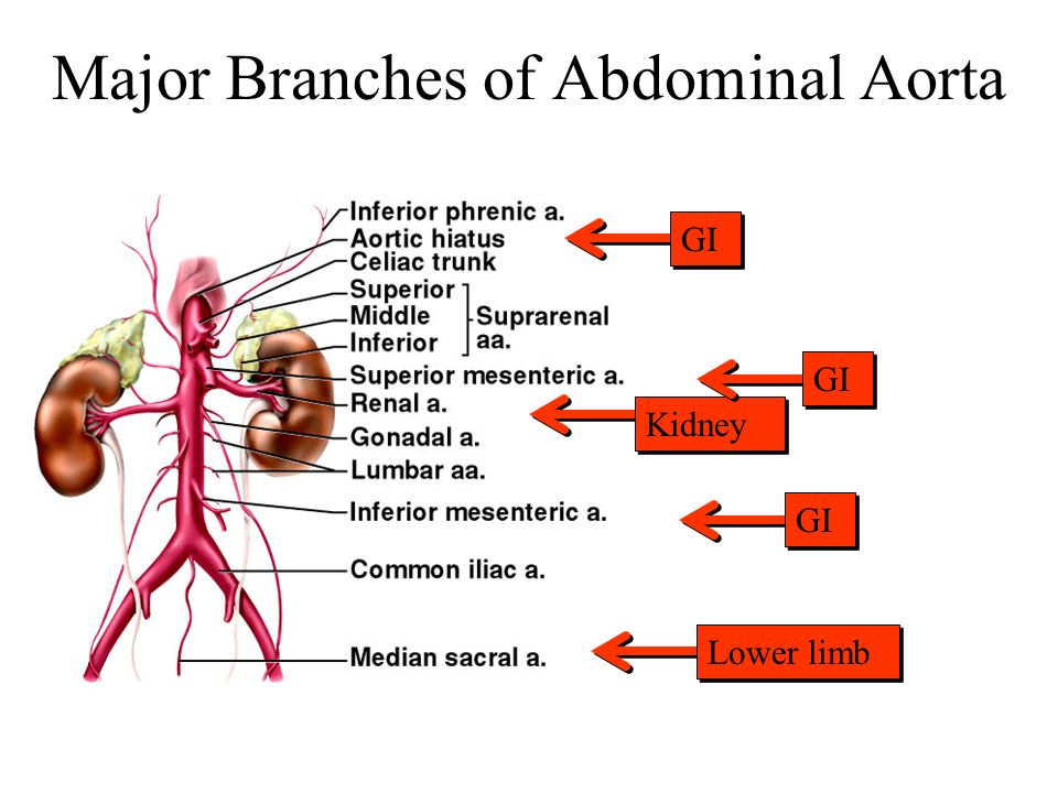 Major Branches of Abdominal Aorta