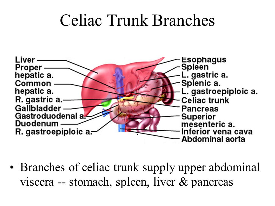 Celiac Trunk Branches Branches of celiac trunk supply upper abdominal viscera -- stomach, spleen, liver & pancreas.