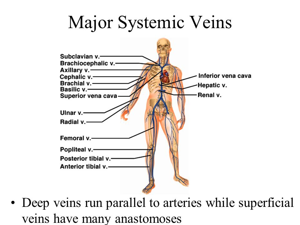 Major Systemic Veins Deep veins run parallel to arteries while superficial veins have many anastomoses.