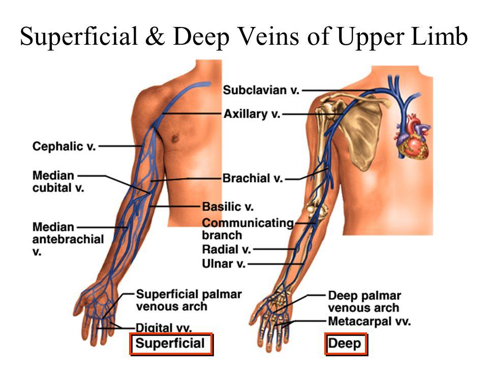 Superficial & Deep Veins of Upper Limb