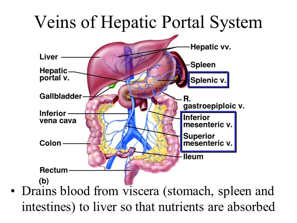 Veins of Hepatic Portal System