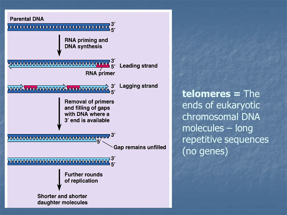telomeres = The ends of eukaryotic chromosomal DNA molecules – long repetitive sequences (no genes)