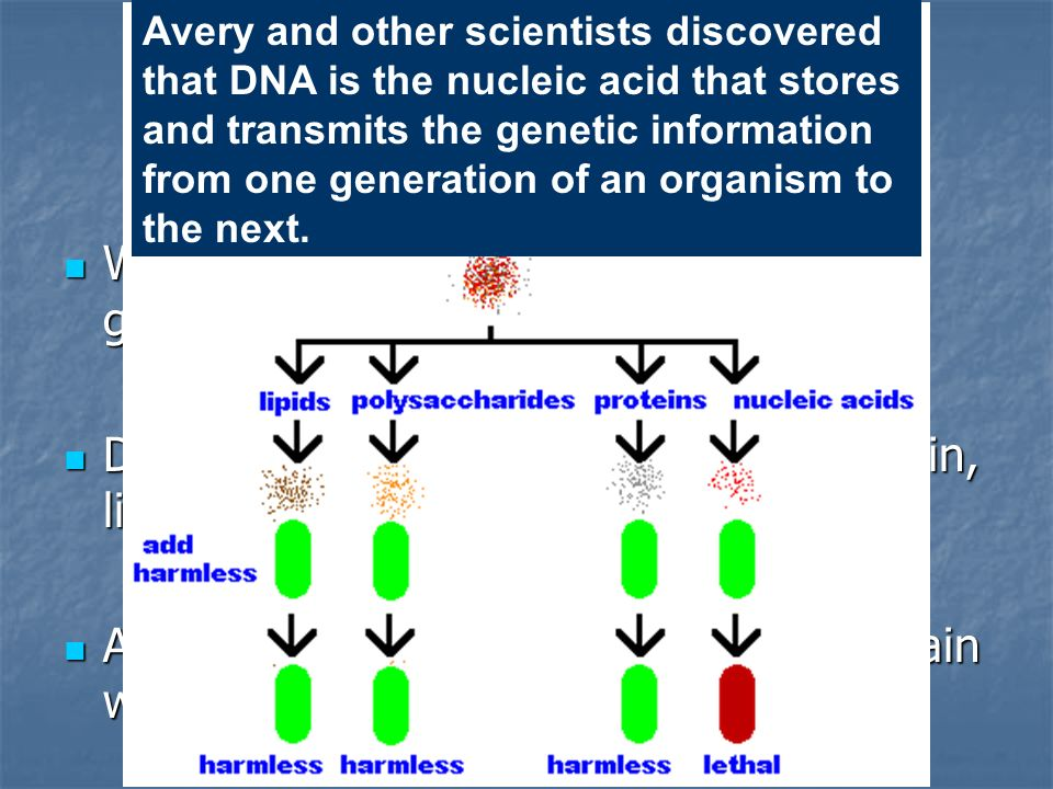 Avery and other scientists discovered that DNA is the nucleic acid that stores and transmits the genetic information from one generation of an organism to the next.