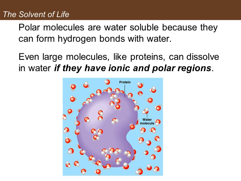 The Solvent of Life Polar molecules are water soluble because they can form hydrogen bonds with water.