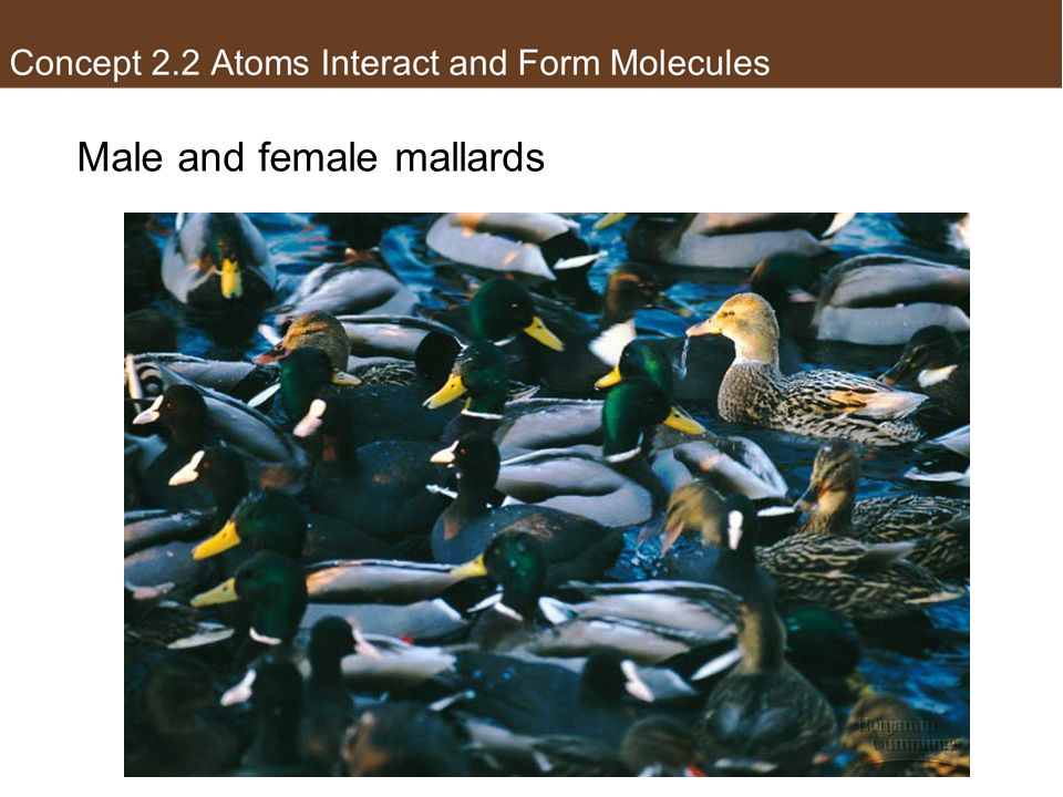 Male and female mallards