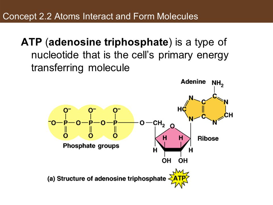 Phosphate group ATP (adenosine triphosphate) is a type of nucleotide that is the cell's primary energy transferring molecule.