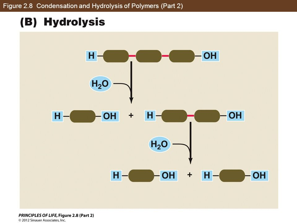 Figure 2.8 Condensation and Hydrolysis of Polymers (Part 2)