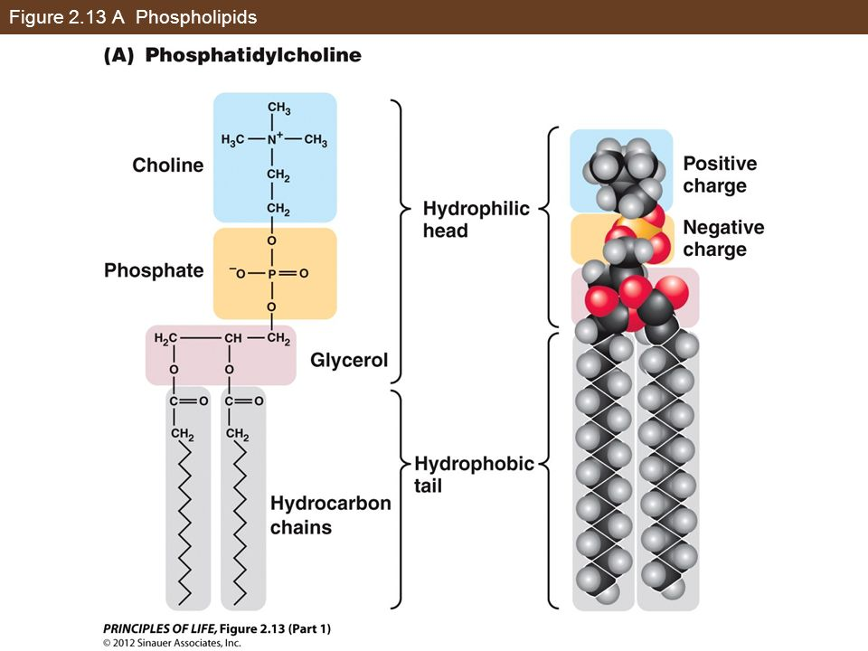 Figure 2.13 A Phospholipids