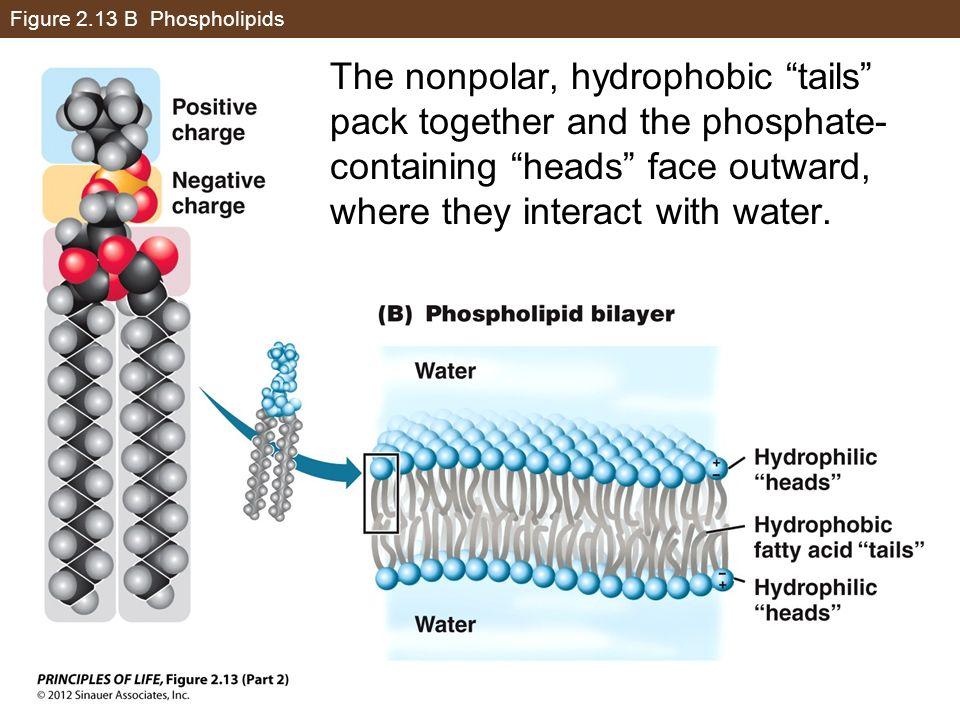 Figure 2.13 B Phospholipids