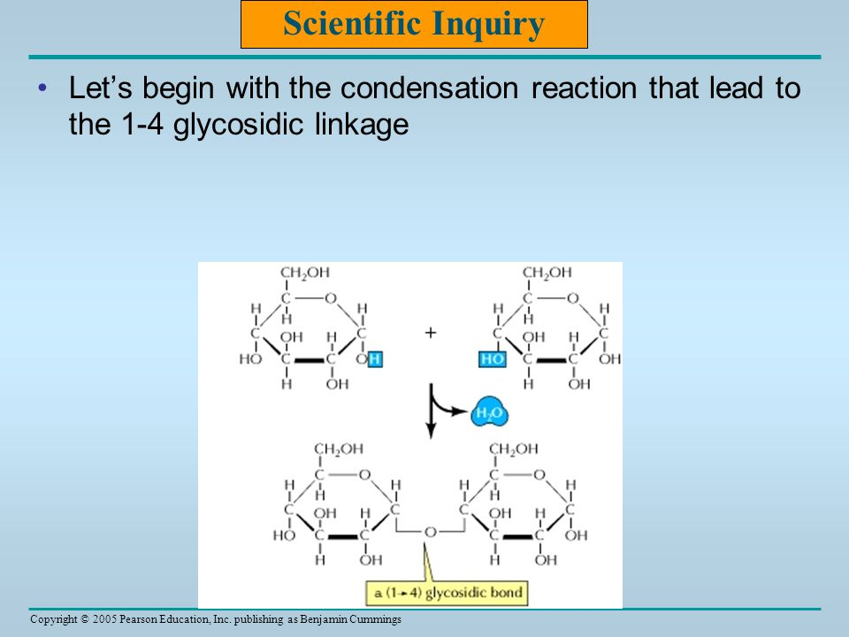 Scientific Inquiry Let's begin with the condensation reaction that lead to the 1-4 glycosidic linkage.