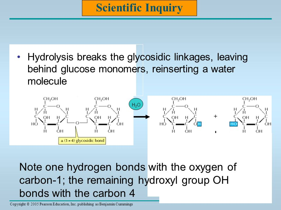 Scientific Inquiry Hydrolysis breaks the glycosidic linkages, leaving behind glucose monomers, reinserting a water molecule.