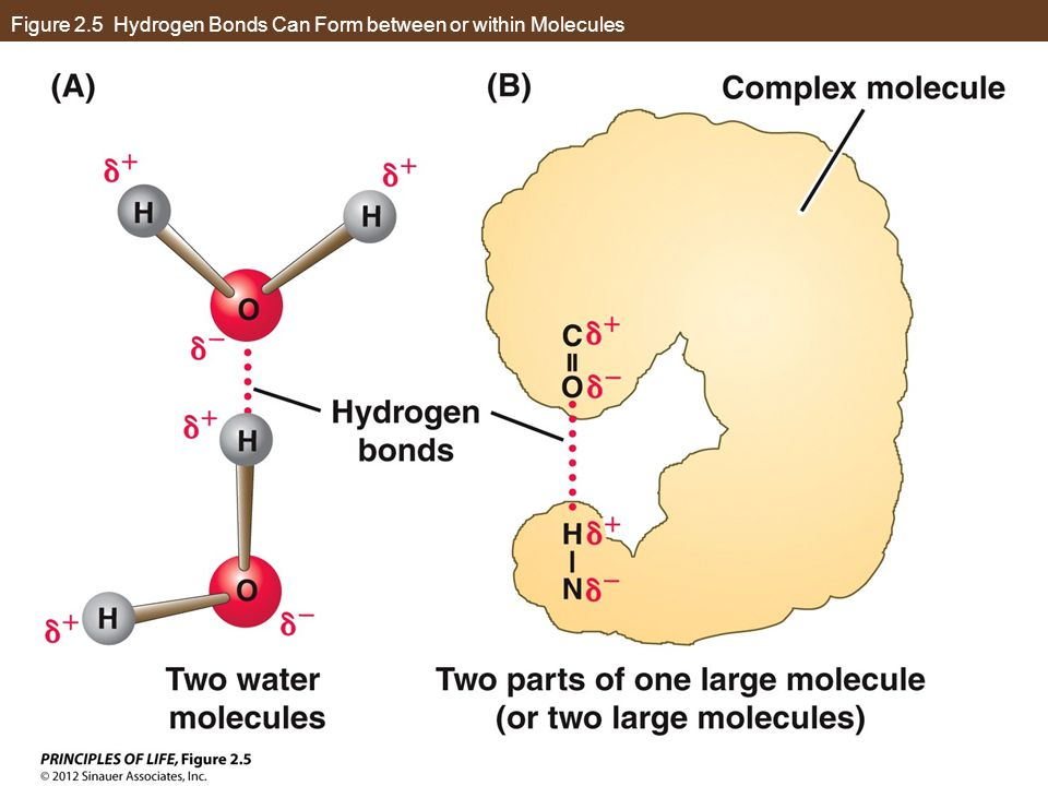 Figure 2.5 Hydrogen Bonds Can Form between or within Molecules