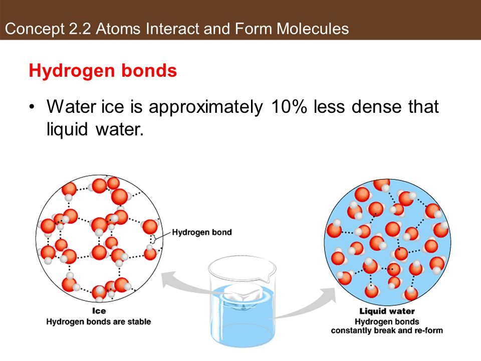 Hydrogen bonds Water ice is approximately 10% less dense that liquid water.