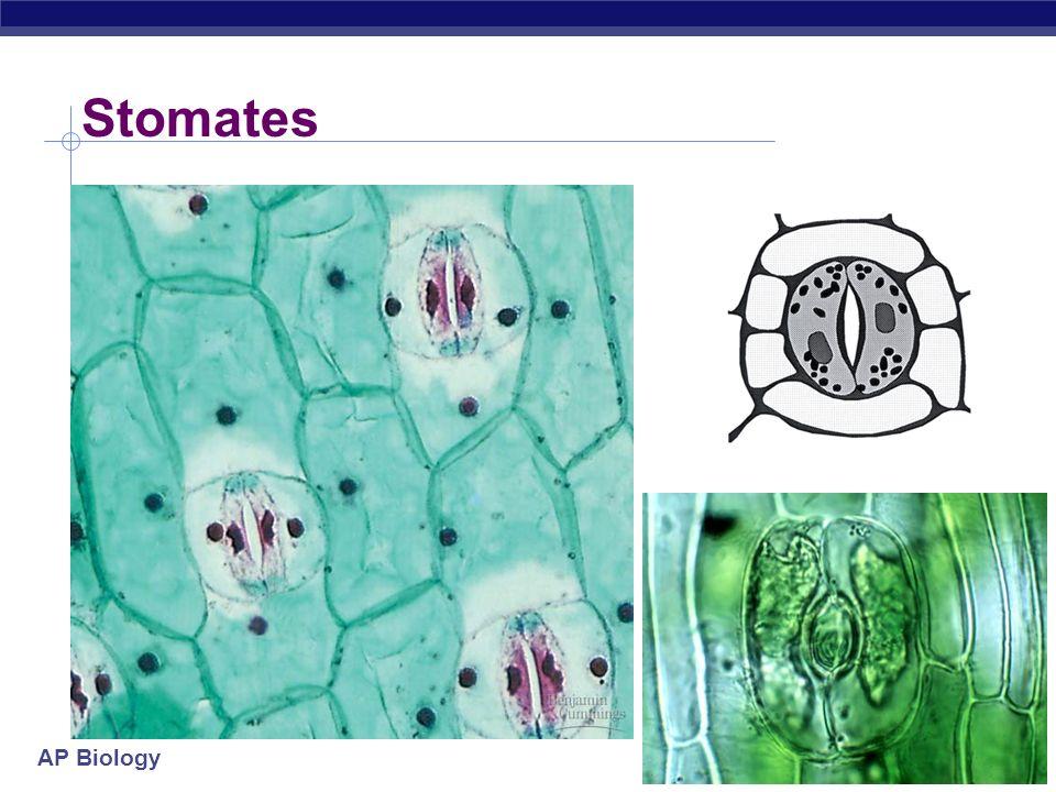 Stomates
