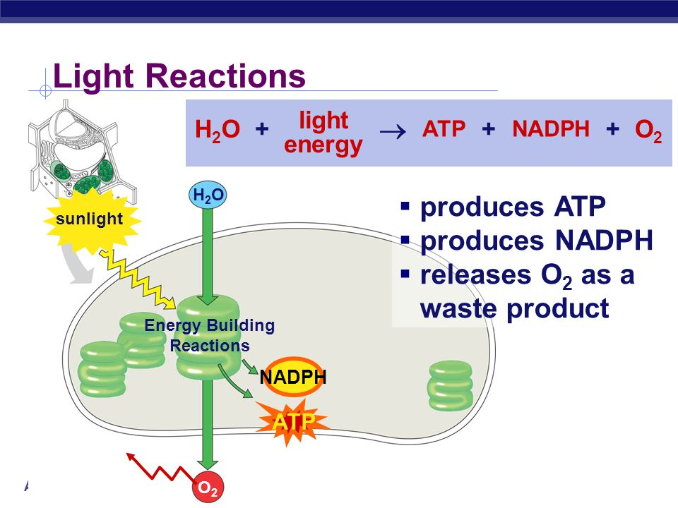 Light Reactions  produces ATP produces NADPH