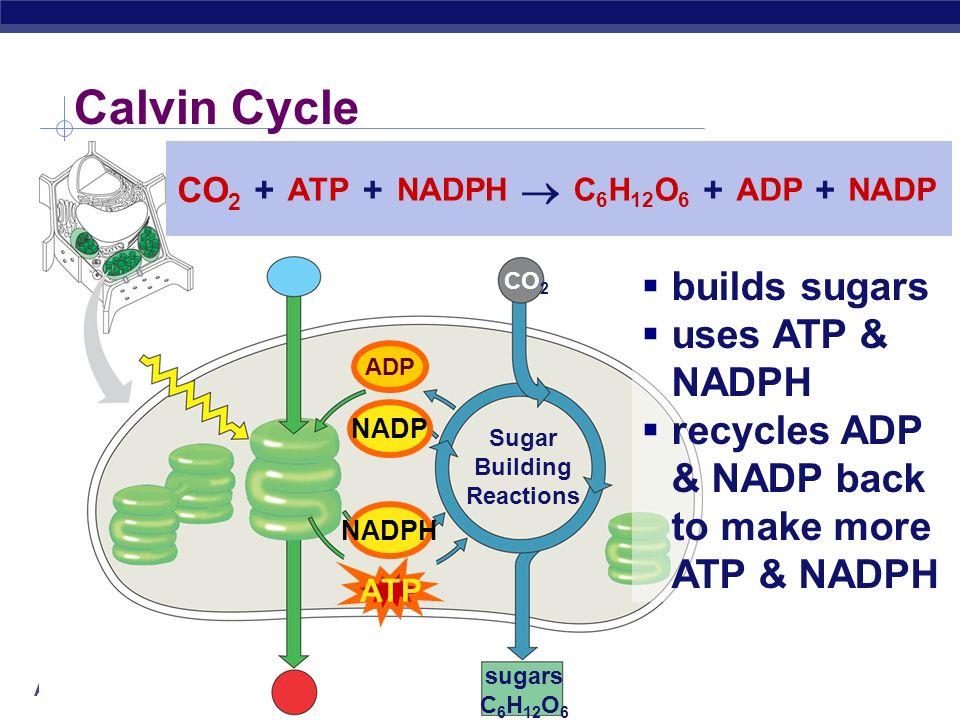 Calvin Cycle  builds sugars uses ATP & NADPH