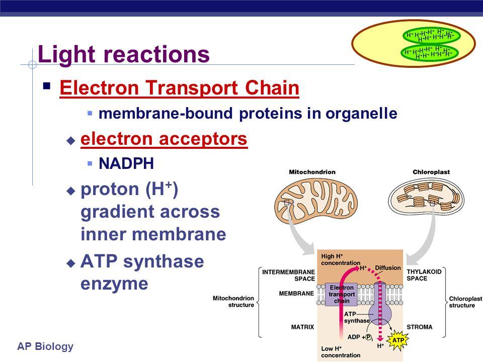 Light reactions Electron Transport Chain electron acceptors
