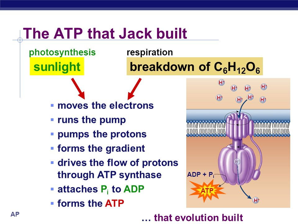 The ATP that Jack built sunlight breakdown of C6H12O6