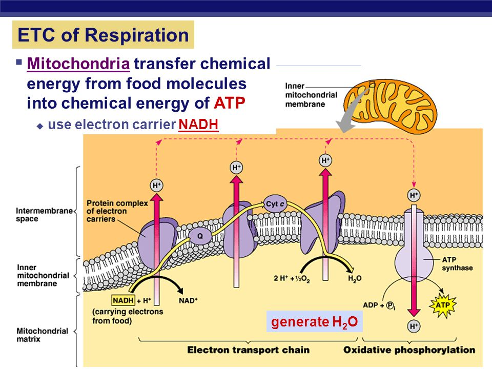 ETC of Respiration Mitochondria transfer chemical energy from food molecules into chemical energy of ATP.