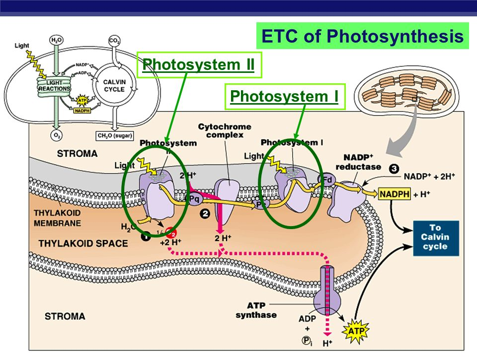 ETC of Photosynthesis Photosystem II Photosystem I