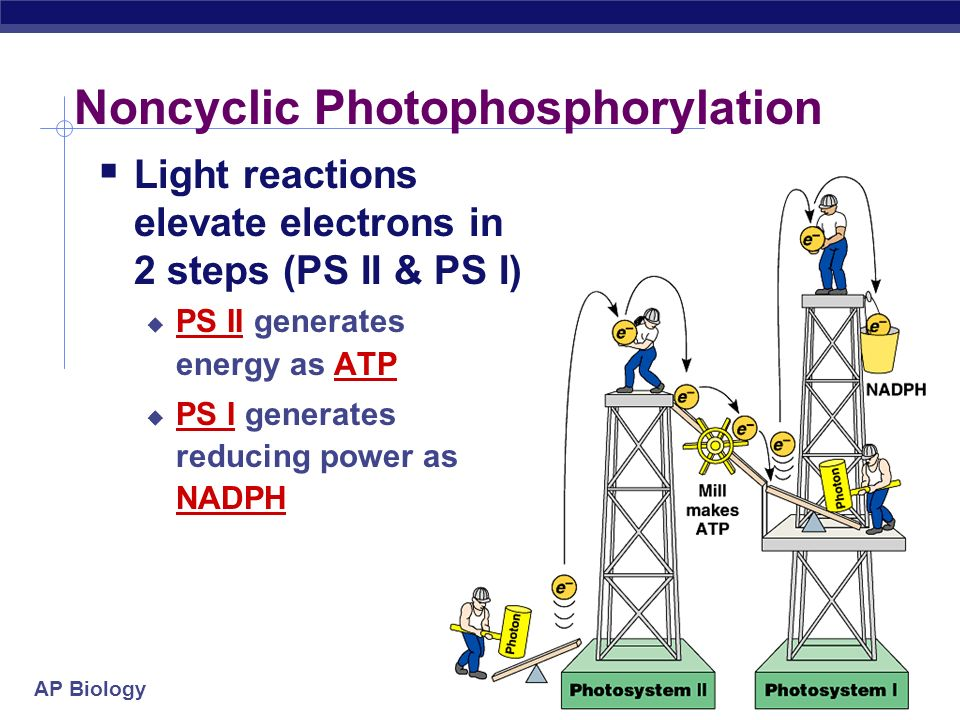 Noncyclic Photophosphorylation