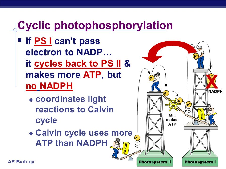 Cyclic photophosphorylation