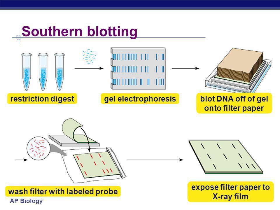 Southern blotting restriction digest gel electrophoresis