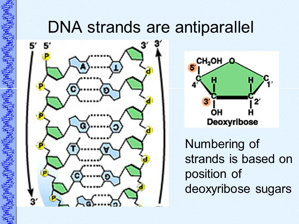 DNA strands are antiparallel