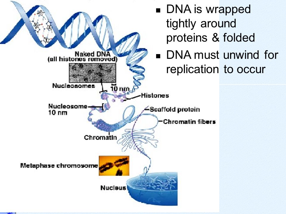 DNA is wrapped tightly around proteins & folded