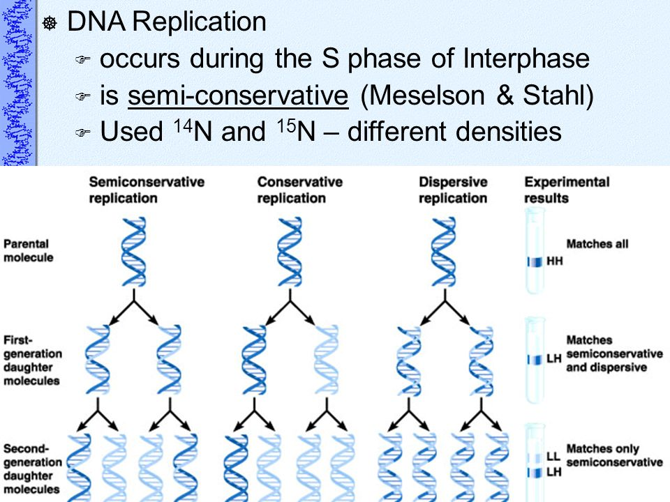 DNA Replication occurs during the S phase of Interphase.