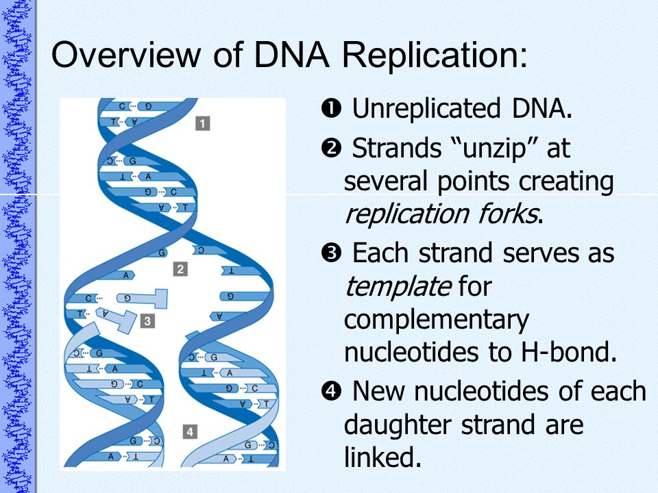 Overview of DNA Replication: