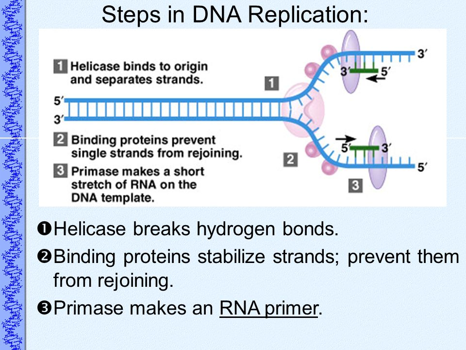 Steps in DNA Replication: