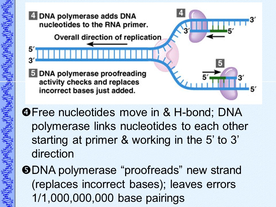 Free nucleotides move in & H-bond; DNA polymerase links nucleotides to each other starting at primer & working in the 5' to 3' direction