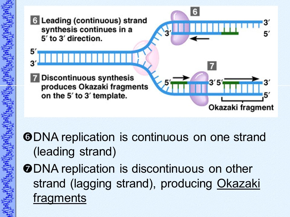 DNA replication is continuous on one strand (leading strand)