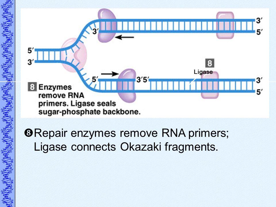 Repair enzymes remove RNA primers; Ligase connects Okazaki fragments.