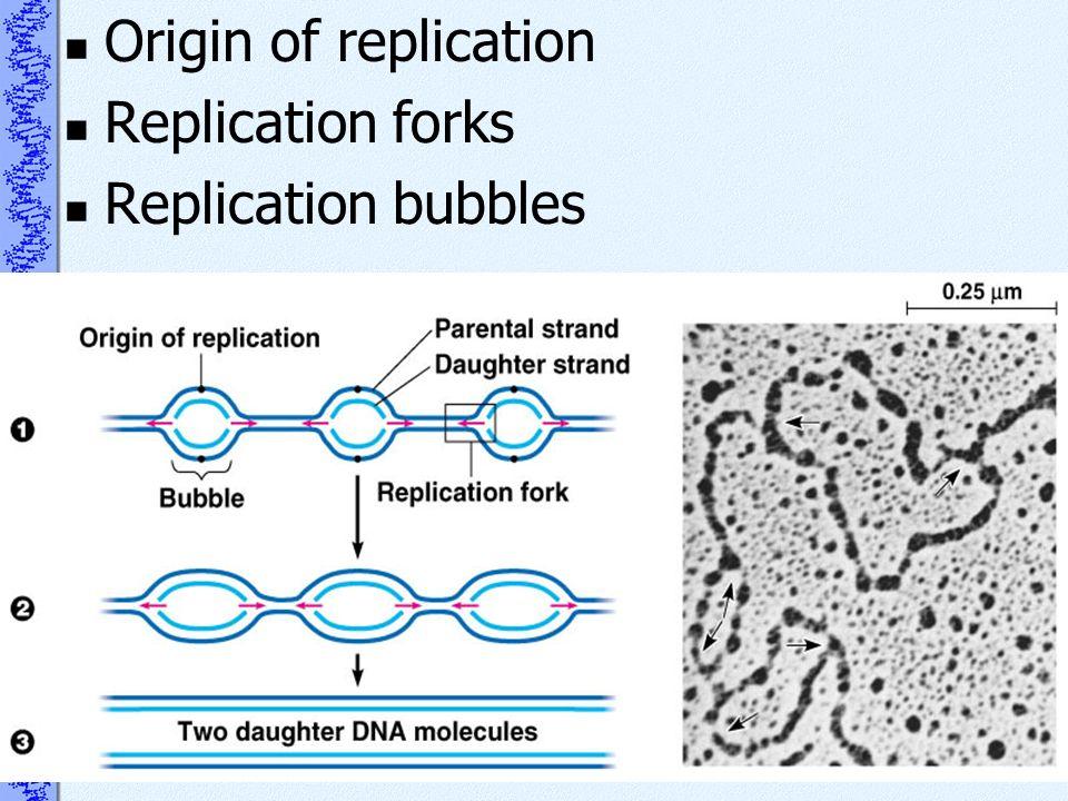 Origin of replication Replication forks Replication bubbles
